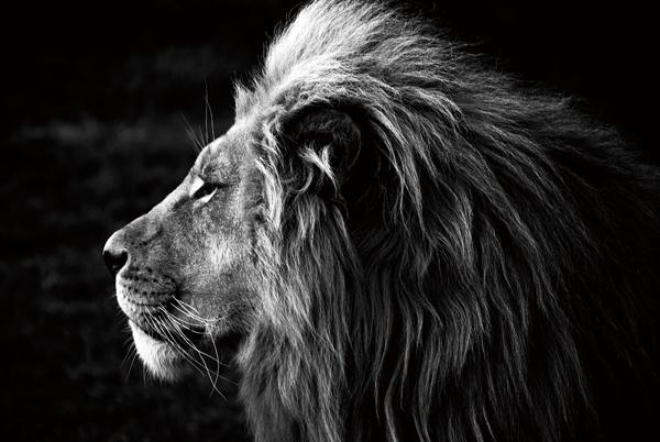 tableau lion verre photo noir blanc impression bois deco. Black Bedroom Furniture Sets. Home Design Ideas